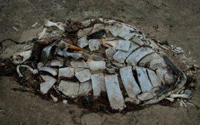 carcasse di tartaruga