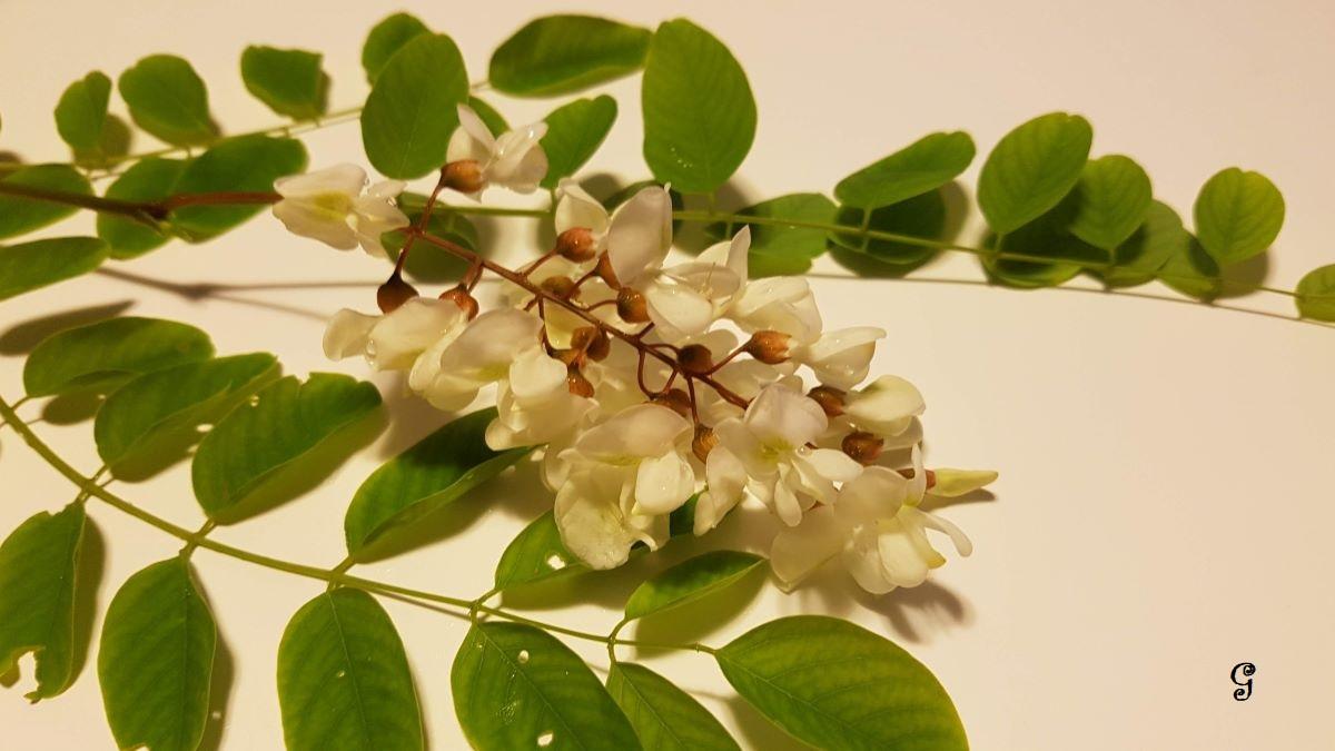 Albero Con Fiori Bianchi robinia o acacia, proprietà dei fiori e ricette in cucina