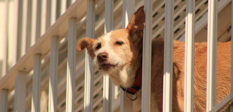 cane chiuso sul balcone