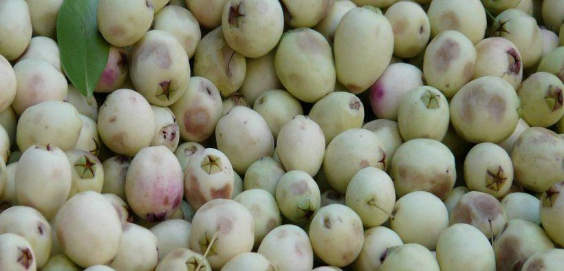 oliva bianca