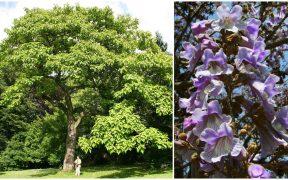 albero imperatrice