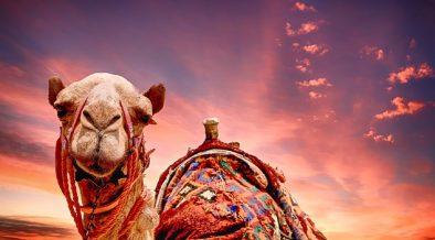 diecimila cammelli