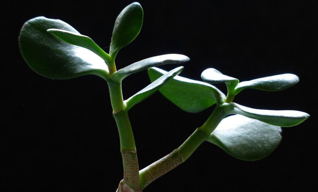 Albero Della Fortuna Pianta albero di giada: ecco perché dovremmo averne uno in ogni