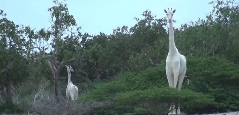 giraffa bianca