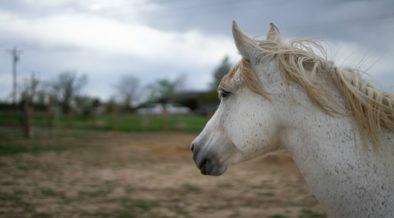 cavalli rapiti